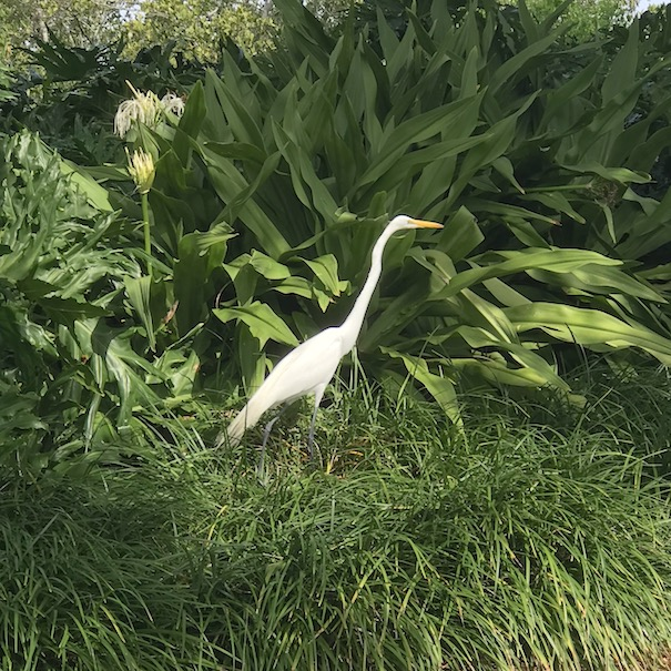 great egret in foliage