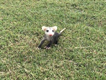 baby possum at gator trace