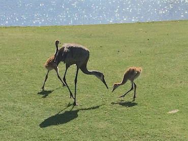 crane with two chicks at gator trace