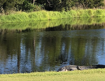 gator trace fat gator on hole 2