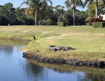 gator trace gator and bird on hole 14
