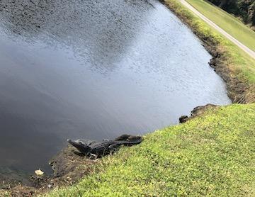 gator trace gator at edge of hole 17