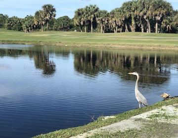 gator trace great blue heron on hole 17