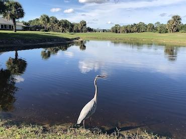 great heron at Gator Trace